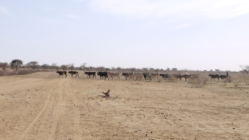 Cattle crossing the desert on Lilengo site before reforestation _ Credit WeForest
