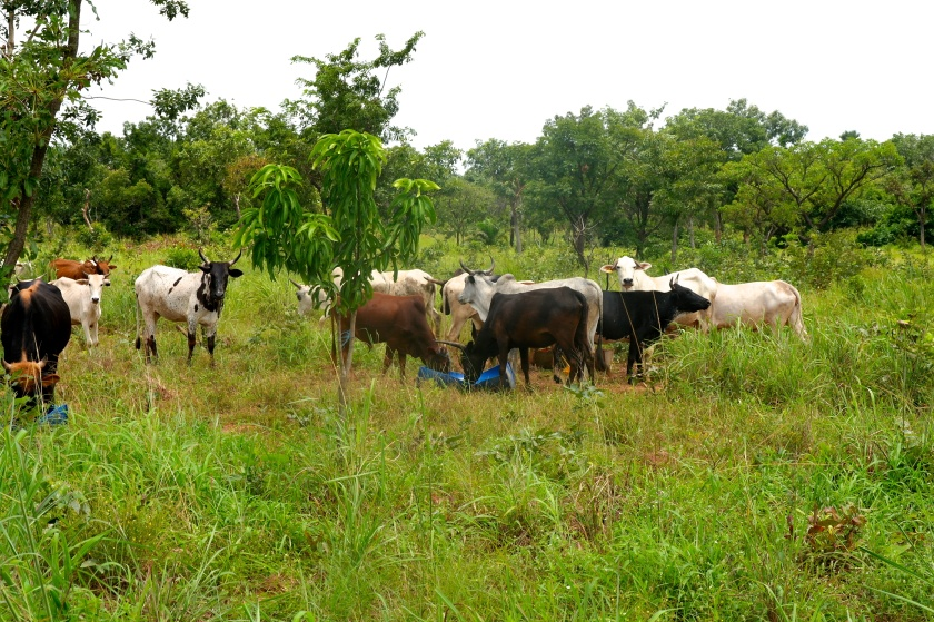 Cattle grazing beneath trees a few years after reforestation _ Credit Beeldkas and OZG